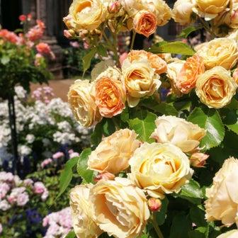 アジアの遺跡に満開のバラ「レオマワールド・オリエンタルトリップ春の春のバラ祭り」