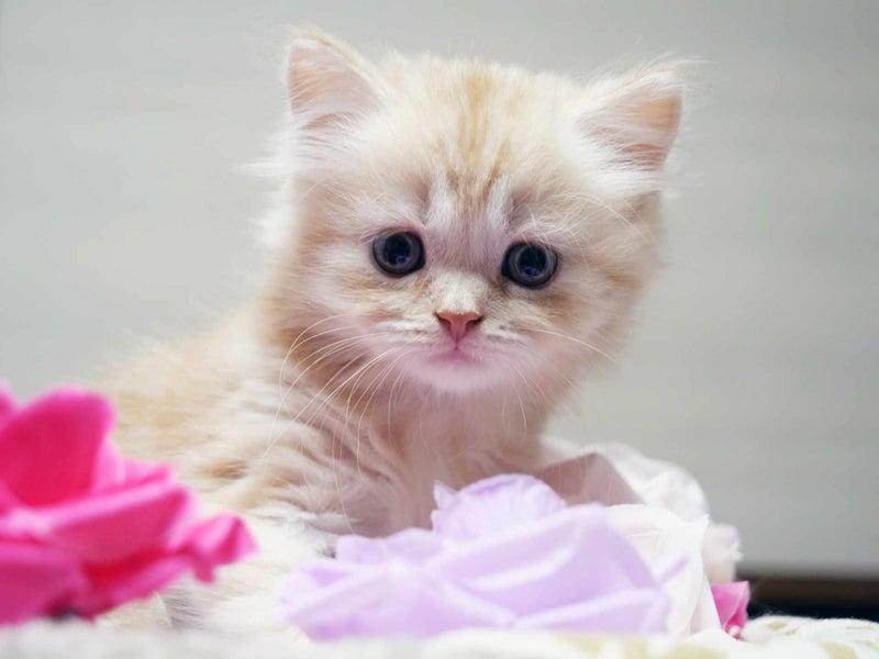 スコティッシュフォールド子猫