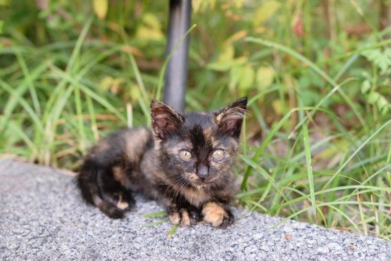 サビ 猫 子猫
