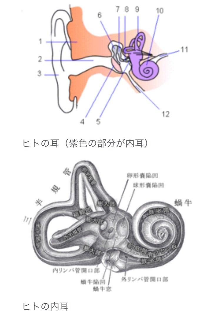 内耳 神経