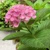 紫陽花と祇園祭との画像