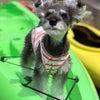 YUZU はじめて カヤック遊びにお出かけします。・・カヤック犬デビュー・・明...の画像