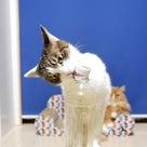 猫のボトルキャップチャレンジ!の記事より