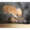 茨城県水戸市にあるウサギ販売店「プティラパン」 ネザーランド『黒蜜』ベビー 7/6生②の画像