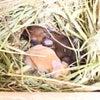 茨城県水戸市にあるウサギ販売店「プティラパン」 ネザーランド『ベリー』ベビー 7/7生②の画像