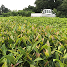 市川大楽園製茶の紅茶づくりの記事より