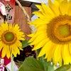 向日葵の画像