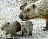 ネズミ でかい