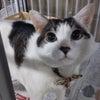 【迷子情報求む】大阪・ミナミで迷子の猫ちゃん。飼い主を探しています。の画像