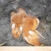 茨城県水戸市にあるウサギ販売店「プティラパン」 ネザーランド『黒蜜』ベビー 7/6生③の画像