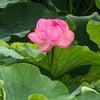 不忍池の蓮と甘味処の画像
