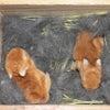 茨城県水戸市にあるウサギ販売店「プティラパン」 ネザーランド『黒蜜』ベビー 7/6生④の画像