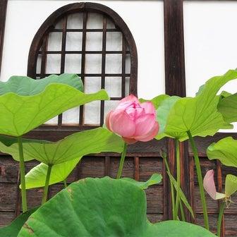 蓮の花咲き 武田氏の夢の跡