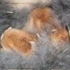 茨城県水戸市にあるウサギ販売店「プティラパン」 ネザーランド『黒蜜』ベビー 7/6生⑤の画像