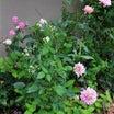 雨の後のバラ(旋律)