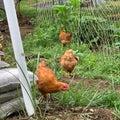鶏さんの放し飼い風景
