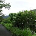 ムクゲが咲く五十鈴川堤を散策(伊勢市)
