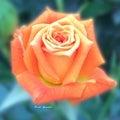 〜オレンジの薔薇〜