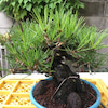 黒松の芽切りの画像