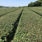 茶畑がフタをした状態になりました。の記事より