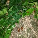 矢部校の前の樹木でセミの羽化。自然って凄い(ノ^^)ノの記事より