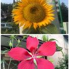 夏の花の記事より