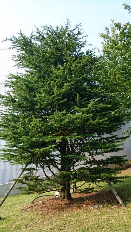 荊冠堂とレバノン杉