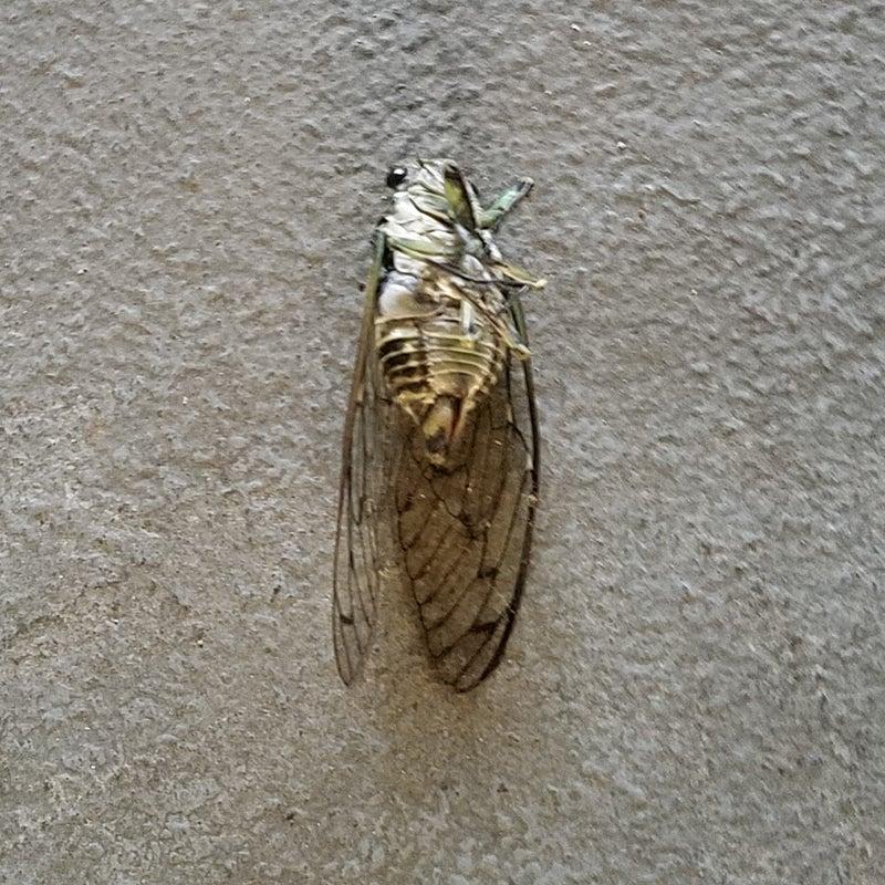 ファイナル 蝉 セミ
