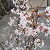 啓翁桜1年!の画像