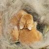 茨城県水戸市にあるウサギ販売店「プティラパン」 ネザーランド『いっちゃん』ベビー 8/4生③の画像
