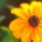 オールドレンズで撮るとファンタジックな夏の花の記事より