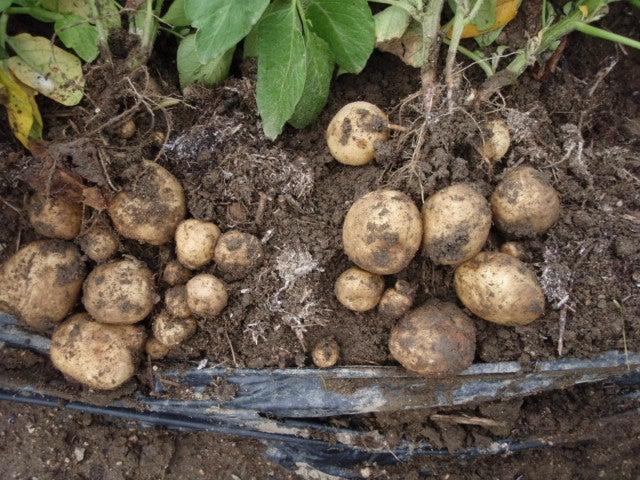 肥料 じゃがいも じゃがいもの栽培は簡単?肥料や品種、害虫対策から収穫時期までジャガイモの育て方をご紹介