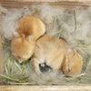 茨城県水戸市にあるウサギ販売店「プティラパン」 ネザーランド『いっちゃん』ベビー 8/4生④の画像