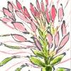 風蝶草(クレオメ)の画像