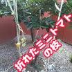 強風で折れたミニトマトの枝の実