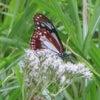 アサギマダラ(蝶)が毎日、吸蜜にの画像