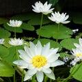 オーストラリアの水面の宝石 熱帯睡蓮