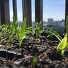 2017春 外灘紅緑灯グループに「菜園部」ができましたの画像