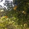 柚子の収穫の画像