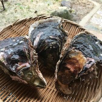 周防大島の岩牡蠣