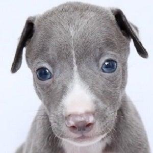 イタリアン グレー ハウンド 子犬