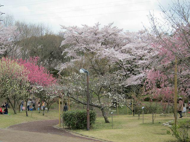 近江富士花緑公園の桜(10) (滋賀県野洲市北桜) | つれづれ旅日記