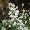 韮の花の画像