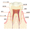 お口の豆知識その1 「歯の構造」の画像