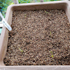 五寸ニンジン収穫の画像