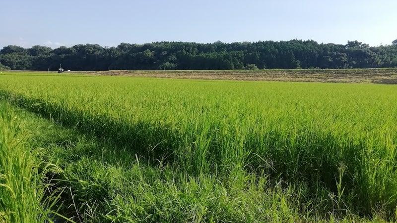 自然栽培米「旭一号」の田んぼ9/14-1