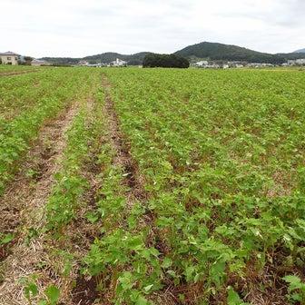 茨城県桜川市岩瀬 蕎麦の花が咲き始めました