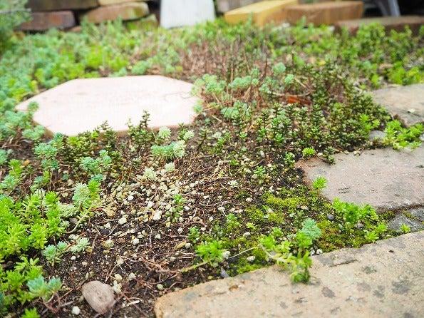 セダム 地 植え 【種類別】セダムの育て方・地植え・室内・寄せ植え|挿し木