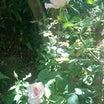 聖域なバラと運不運な千両