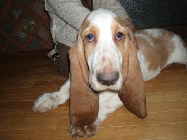 バセット ハウンド 子犬